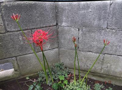 庭の花 00601.jpg