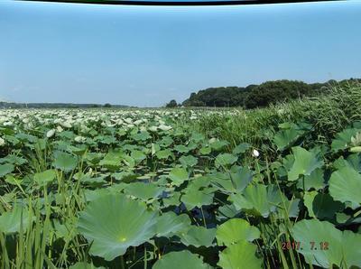 手賀沼のハス 00201.jpg