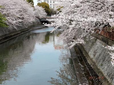 海老川の桜 00501.jpg