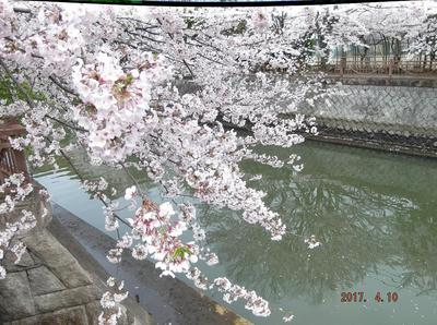 海老川の桜 00601.jpg