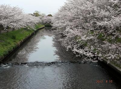 海老川の桜 00801.jpg