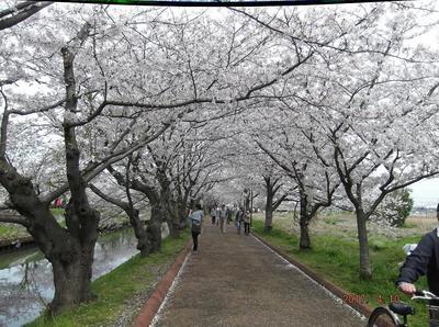 海老川の桜 01001.jpg