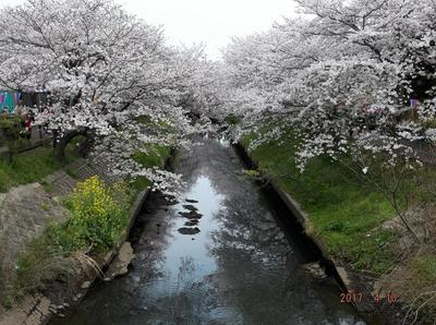 海老川の桜 01301.jpg