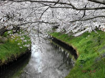 海老川の桜 01401.jpg