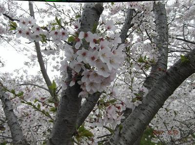 海老川の桜 02101.jpg