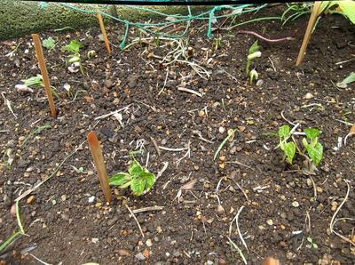 苗の植付 01001.jpg