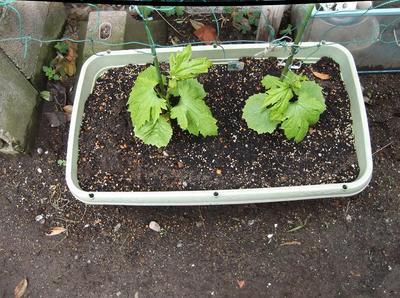 苗の植付 02901.jpg