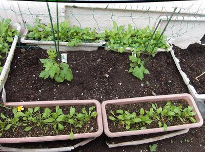 苗の植付 03101.jpg