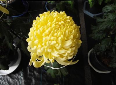 菊花展 02201.jpg