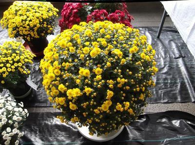 菊花展 01501.jpg