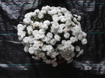 菊花展 01701.jpg